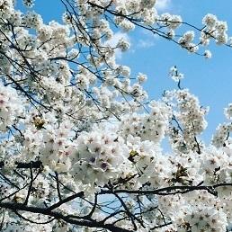 コフ桜.JPG
